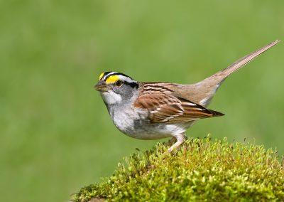 White throated sparrow on moss SLIDESHOW