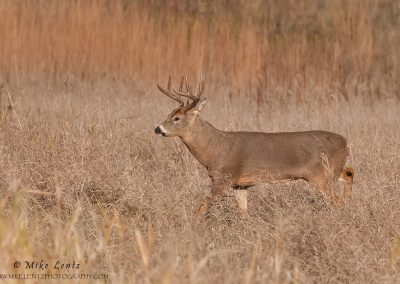 Whitetail strolls through high brown grasses