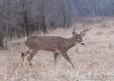 Whitetailed Deer strolls in grassesPS2