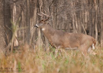 Whitetailed deer Tucker enters the woods