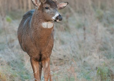 Whitetailed deer Tucker verticle