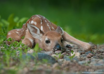 Whitetailed deer fawn concealment posePS2,jpg
