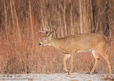 Whitetailed deer strides in willows