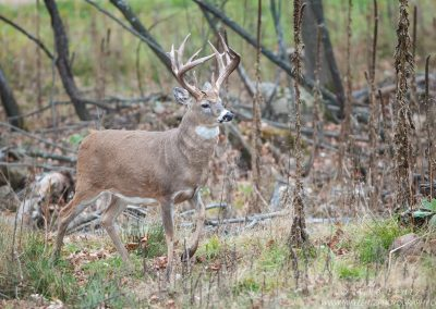 Whitetailed deer trophy strut