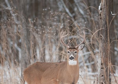 Whitetailed deer verticle by snagPS2
