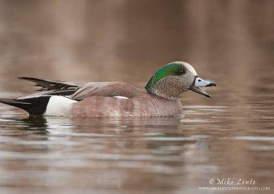 Wigeon calling loudly