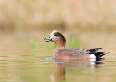 Wigeon drake soft light.jpg