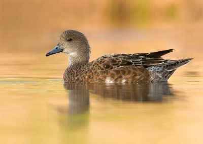 Wigeon hen on colorful glass waters