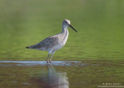 Willet in dual colored BGPS2