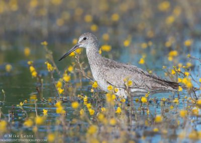 Willet in yellows in marshPS2