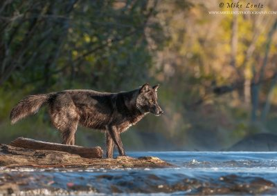 Wolf black fur about to cross river