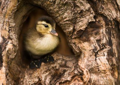 Wood duck baby in nest cavity