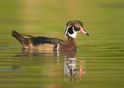 Wood duck drake on green reflecting waters