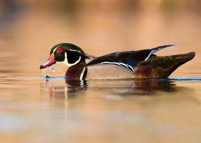 Wood duck drake water drip PS
