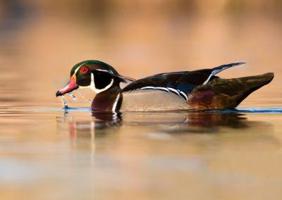 Wood duck drake water drip PS