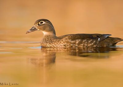 Wood duck on golden waters PS3