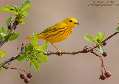 Yellow Warbler on emerging crabapple treePS2