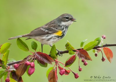 Yellow-rumped-warbler-FM-on-crabapples