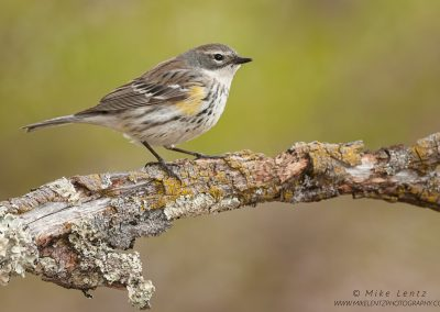 Yellow-rumped warbler female on crusty logPS2