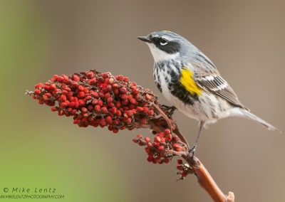 Yellow-rumped warbler on SumacPS2