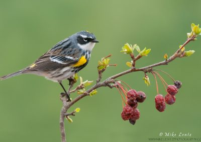 Yellow-rumped-warbler-on-emerging-crabapple-tree