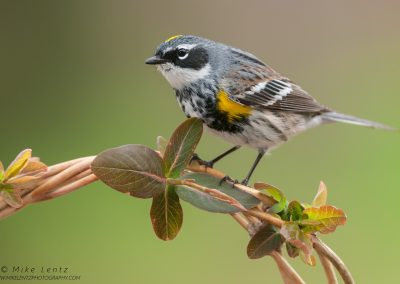 Yellow-rumped warbler on emerging vinePS2