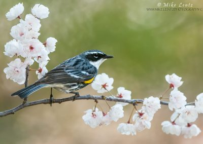 Yellow-rumped-warbler-on-emerging-white-buds