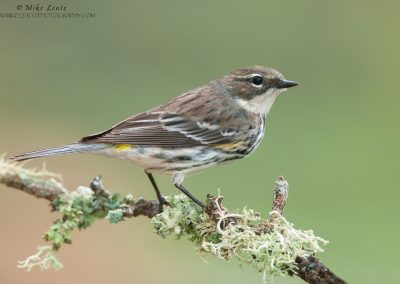 Yellow-rumped-warbler-on-mossy-lichen