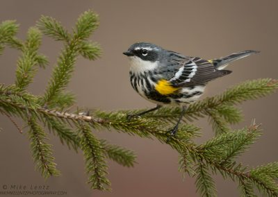 Yellow-rumped warbler on pinePS2