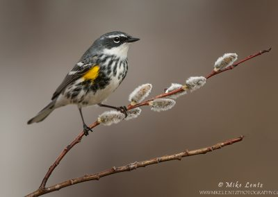 Yellow-rumped-warbler-on-pussywillow
