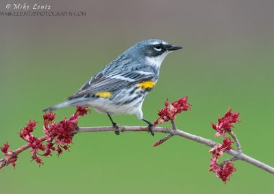 Yellow rumped warbler on red buds