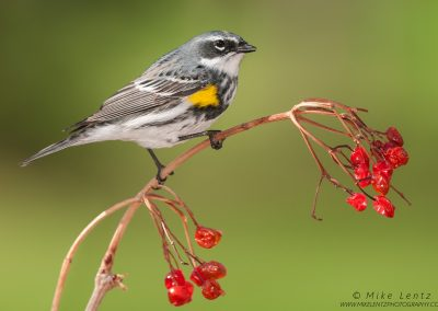 Yellow-rumped warbler on small red berriesPS2