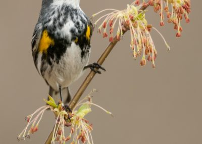 Yellow rumped warbler verticle on emerging tree