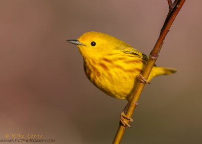 Yellow warbler on dogwood stickPS2