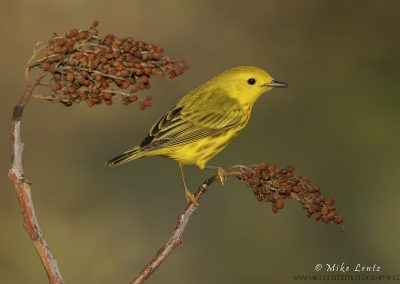 Yellow warbler on Sumac