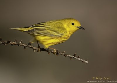 Yellow warbler side profile