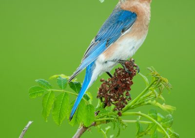 eastern Bluebird vert on sumac with bug