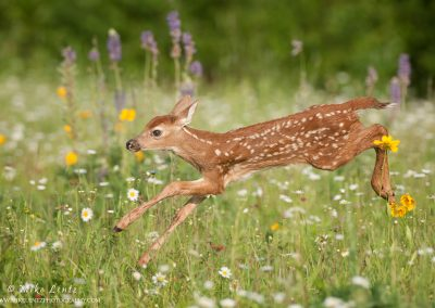 fawn Bounding in field of flowers