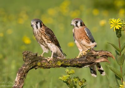 kestral couple