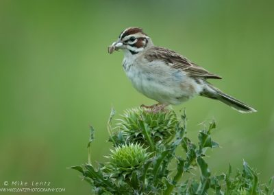 lark Sparrow with spiderPS2
