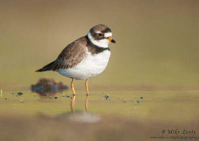 semi palmated plover on open watersPS2