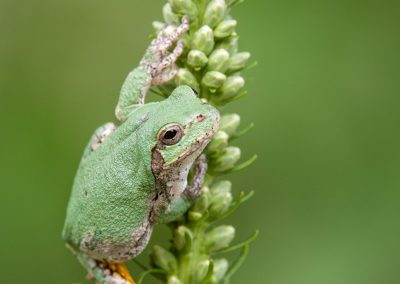 tree frog verticle on green buds