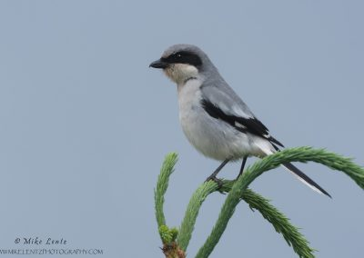 Loggerhead shrike on bent pine top
