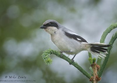 Loggerhead shrike posed on pines