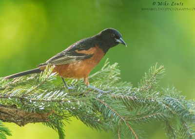 Orchard Oriole on pine