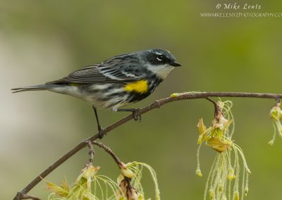 Yellow rumped warbler alert