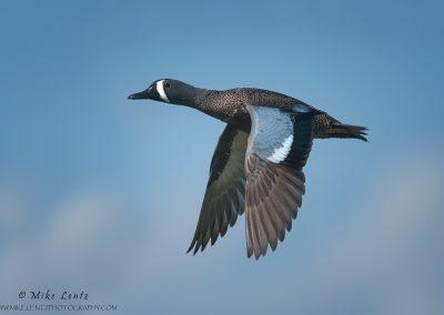 Blue-winged teal in flight