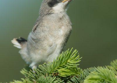 Loggerhead Shrike baby