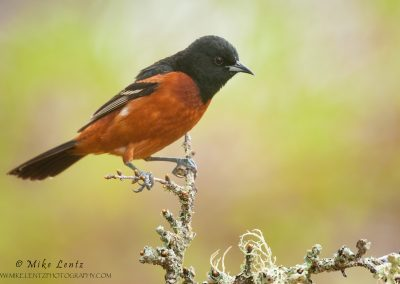 Orchard Oriole on lichen