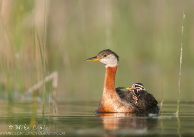 Red-Necked Grebe small with babies